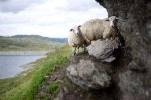 Sheep on a cliff.